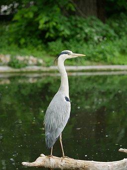 Grey Heron, Graureiher, Heron, Bird, Bird Photography