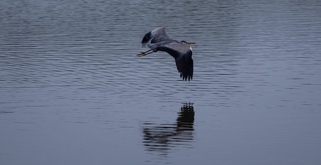 Heron Flying, Heron, Water Bird, Plumage, Bird
