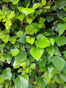 Green, Ivy, Leaves, Background, Texture, Life