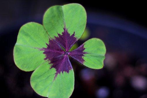 Oxalis Deppei Iron Cross, 4 Leaf Clover, Luck, Green