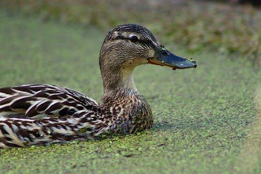 Mallard, Duck, Water Bird, Duckweed, Plumage, Bill