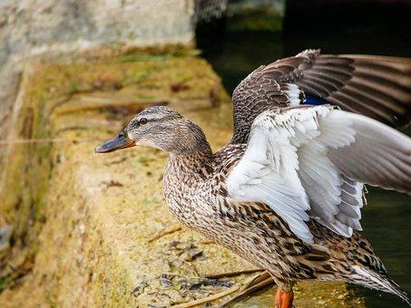 Duck, Wings, Flight, Mallard, Nature, Lake, Plumage