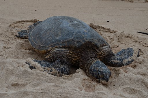 Hawaiian Turtle Full, Marine, Wildlife