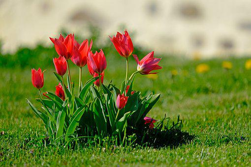 Tulips, Red, Nature, Spring, Garden, Flowers