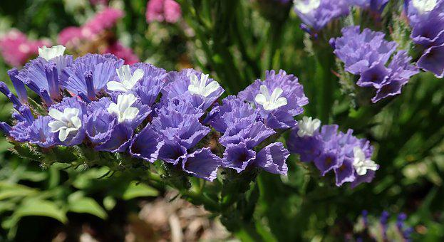 Flower, Purple, Statice, Everlasting, Garden, Nature