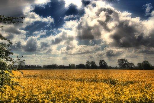 Field Of Rapeseeds, Oilseed Rape, Landscape, Yellow
