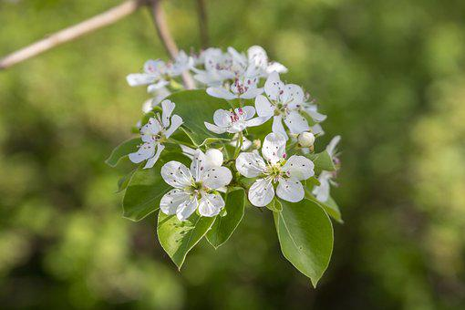 Pear, Spring, May, Tree, Flowers, Bloom, Garden, Nature