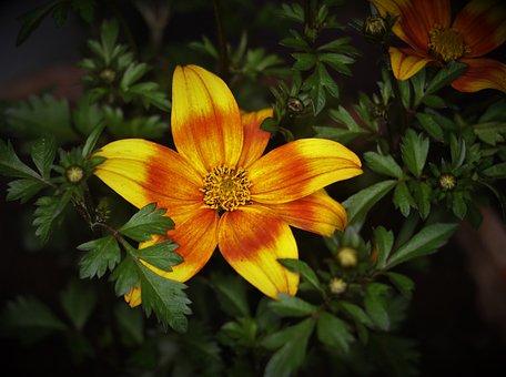 Flower, Red, Yellow, Garden, Bloom, Petals, Floral