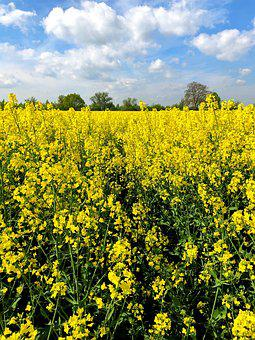 Field, Yellow, Nature, Summer, Flowers, Plant, Bloom