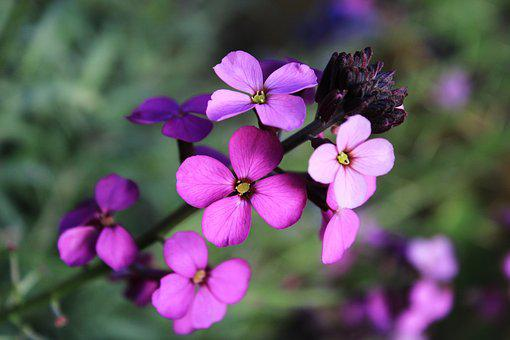 Flower, Wallflower, Plant, Garden, Nature, Flora, Bloom