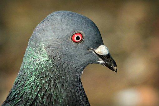 Rock Dove, Pigeon, Bird, Plumage, Feather, Eye, Beak