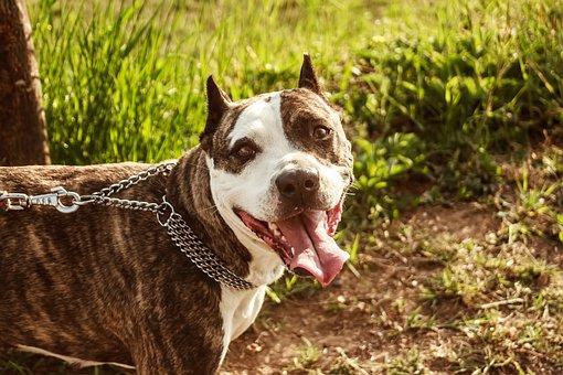 Dog, Portrait, Pet, Animal, Puppy, Brown, Snout, Canine
