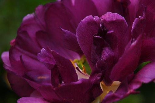 Tulpenbluete, Blossom, Bloom, Purple, Purple Tulip
