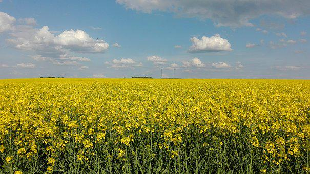 Sky, Rapeseed, Landscape, Field, Yellow, Clouds, Spring