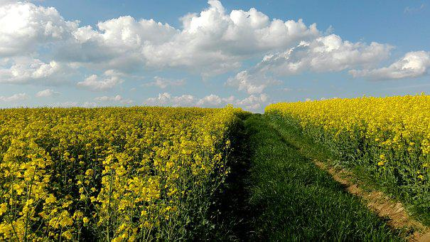 Meadow, Rapeseed, Field, Landscape, Sky, Agriculture
