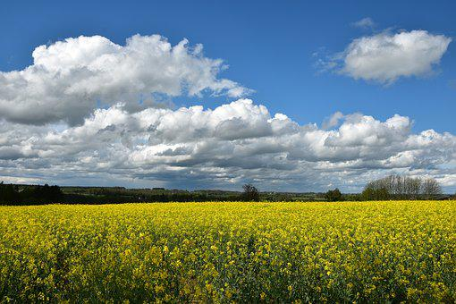 Field, Rapeseed, Nature, Yellow, Cloud, Landscape