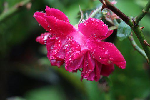 Rose, Red, Drops, Pink, Wet, Rain, Love, Garden, Nature