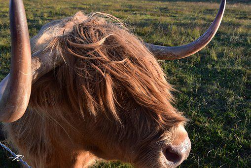 Highland Beef, Scotland, Agriculture, Horns, Cattle