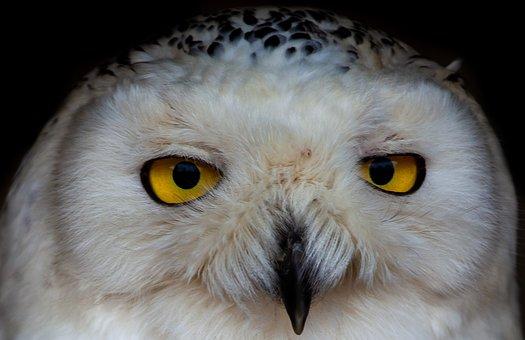 White Owl, Owl, Raptor, Yellow Eyes, Snowy Owl, White