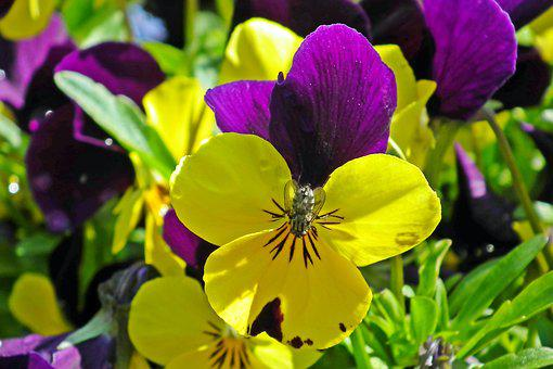 Pansies, Flowers, Spring, Garden, Nature, Colorful