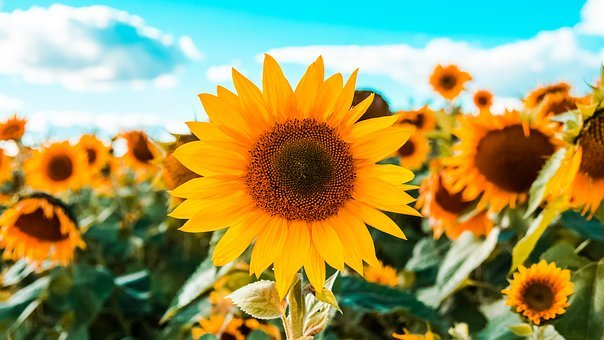 Sunflowers, Field Of Sunflowers, Field, Yellow