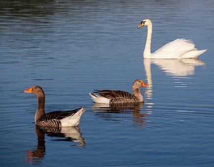 Geese And Swan, Geese, Swan, White, Waterbird