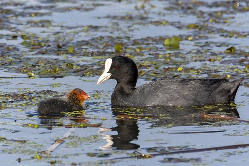 Birds, Eurasian Coot, Water, Nature, Rallidae, Pond