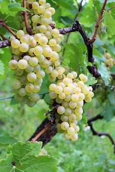 Wine, Grape, Grapes, Rivaner, Vineyard, Müller-turgau