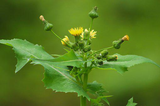 Sow-thistle, Ordinary Sow-thistle, Composites, Yellow