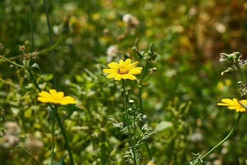 Daisy, Yellow, Nature, Flower, Green, Plant, Garden