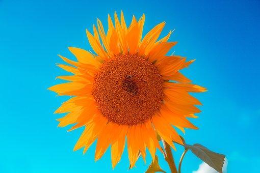 Sunflower, Summer, The Sun, Flower, Yellow, Plant