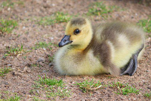 Chicks, Young, Young Birds, Canada Goose