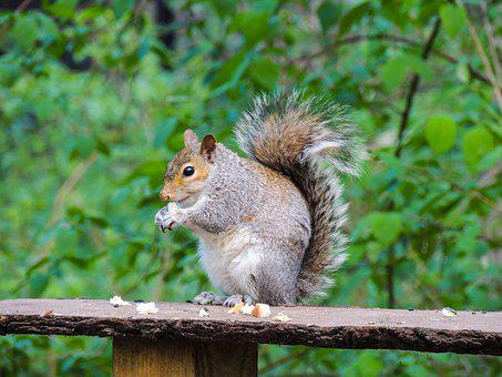 Squirrel, Rufford Park, Nature, Animal, Countryside