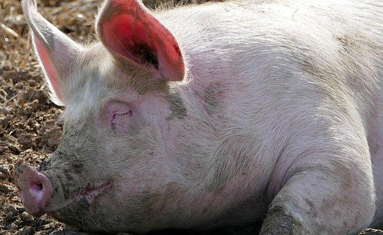Agriculture, Animal Husbandry, Pig, Sleep, Rest, Sun