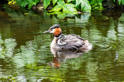 Great Crested Grebe, Young, Baby Animal, Nature, Cute