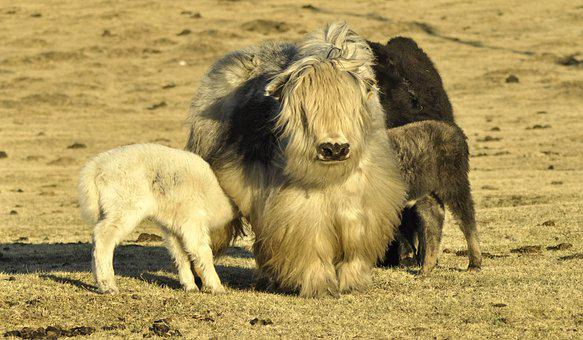 Yak, Yak Cub, Baby Yak, Mongolia, Pasture, Cattle