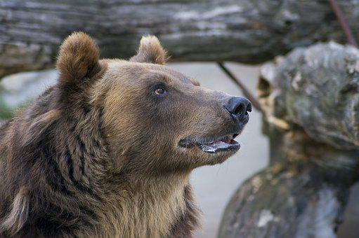 Bear, Animal, Predator, Brown, Zoo