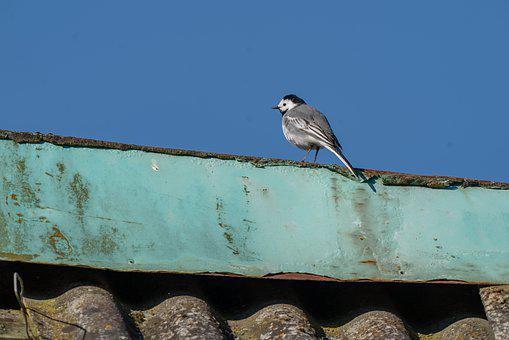 White Wagtail, Bird, Avian, Nature, Animal, Wildlife