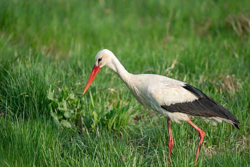 Bird, Nature, Animal, White Stork, Ciconia Ciconia