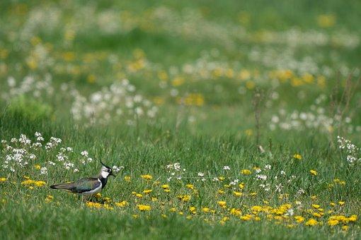 Northern Lapwing, Vanellus Vanellus, Bird, Avian, Grass