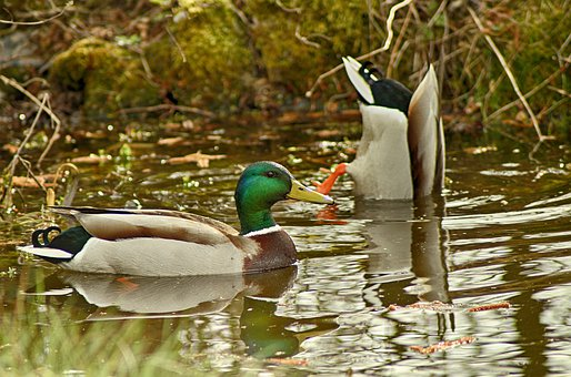 Duck, Pond, Garden, Nature, Water, Eat, Feather, Bird