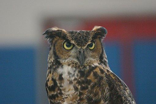 Great Horned Owl, Owl, Wildlife, Nocturnal, Bird, Stare