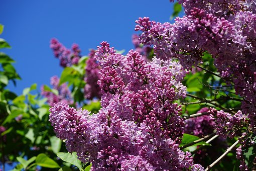 Lilac, Blossom, Bloom, Spring, Sky, Blue, Purple, Bloom