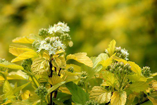 Pęcherznica Kalinolistna, Bush, Flowering