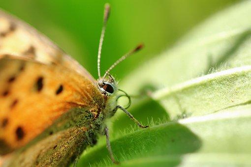 Small Fire Falter, Butterfly, Summer, Butterflies
