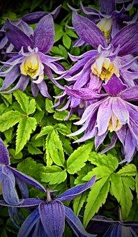 Flowers, Clematis, Climber Plant, Violet
