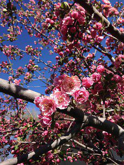 Crabapple, Flowers, Spring, Blossom, Bloom, Springtime