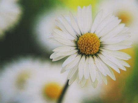 Flower, Daisy, Nature, Blossom, Bloom, Spring, White