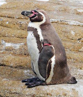 Humboldt Penguin, Ozeaneum, Stralsund, Exhibition, Sea