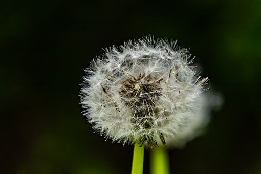 Flower, Dandelion, Nature, Seeds, Close Up